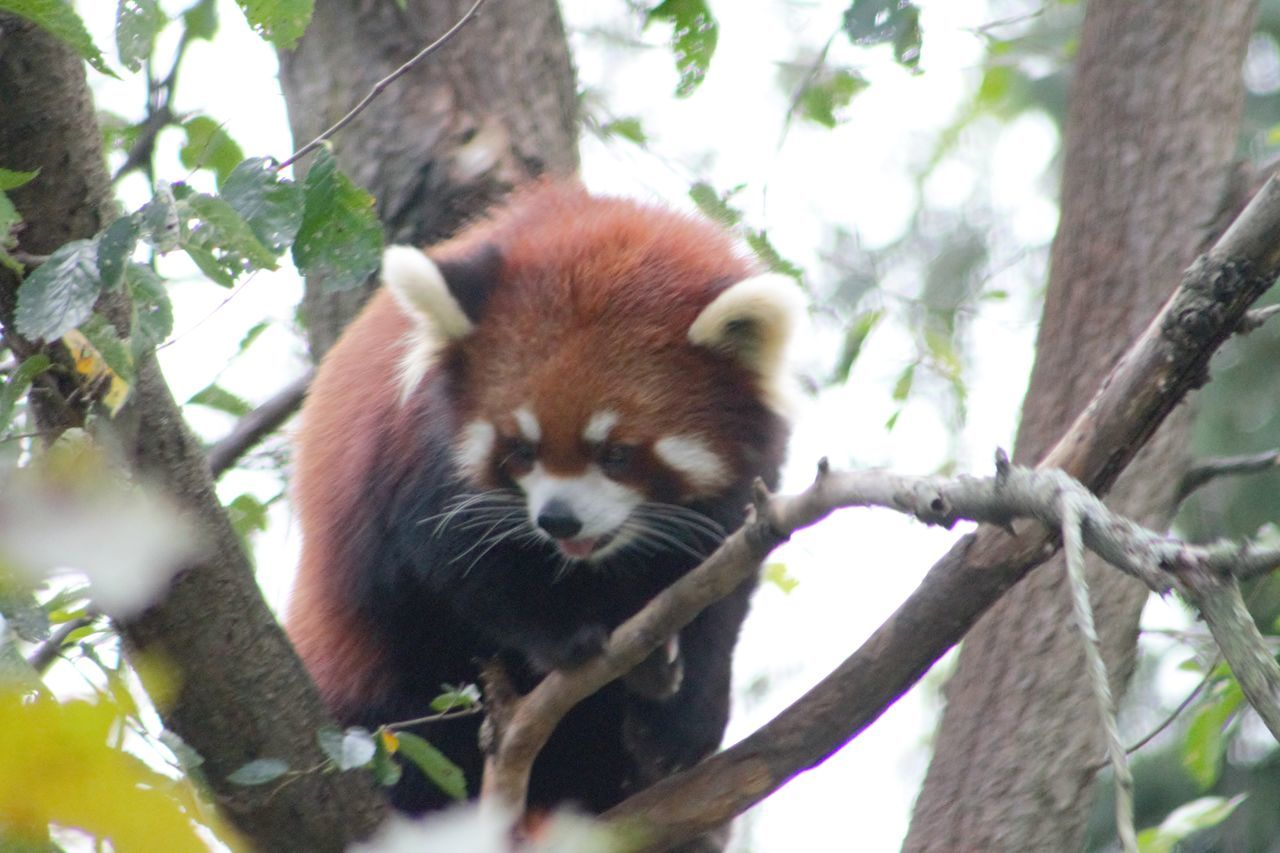 Animal Themes Animals In The Wild Branch Day Low Angle View Mammal Nature No People One Animal Outdoors Panda - Animal Red Panda Tree