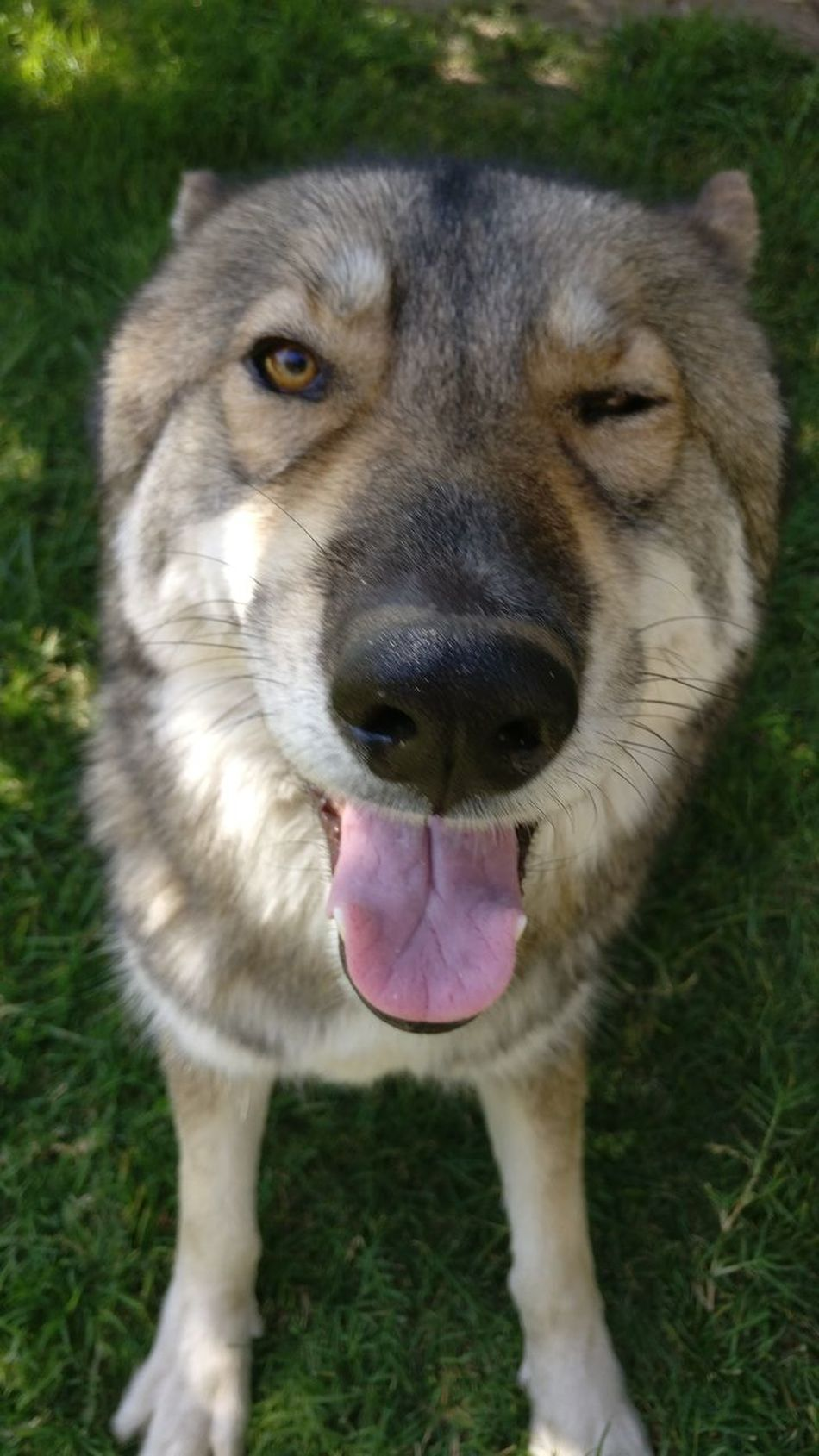 Heres Looking At You Pets Dog Animal Themes One Animal Domestic Animals Close-up Husky Love Wolfhybrid Wink