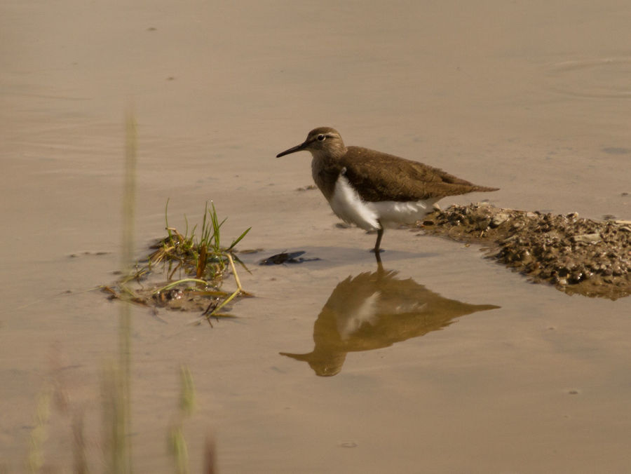 Actitis Hypoleucos Animal Themes Animal Wildlife Animals In The Wild Bird Bird Photography Common Sandpiper European Birds Lake Nature Nature Photography No People One Animal Outdoors Reflection Sandpiper Water Western Palearctic Wildlife & Nature Wildlife Photography