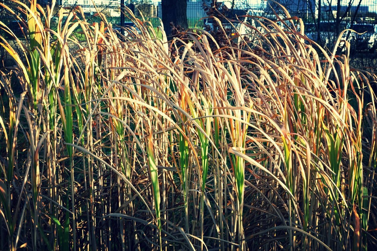 growth, plant, nature, agriculture, grass, no people, outdoors, day, close-up