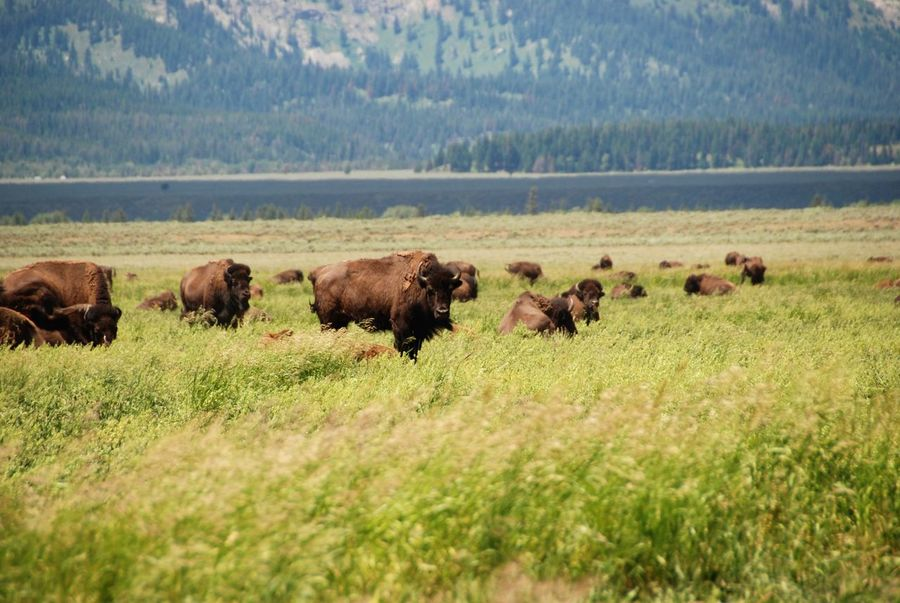 American Bison Animal Themes Animal Wildlife Animals In The Wild Beauty In Nature Bison Bison Group Day Field Fresh On Eyeem  Grand Tetons National Park Grass Grazing Large Group Of Animals Mormon Row Nature Nature Nature Photography No People Powerful Animals Regal Travel Travel Destinations Wyoming Wyoming Landscape