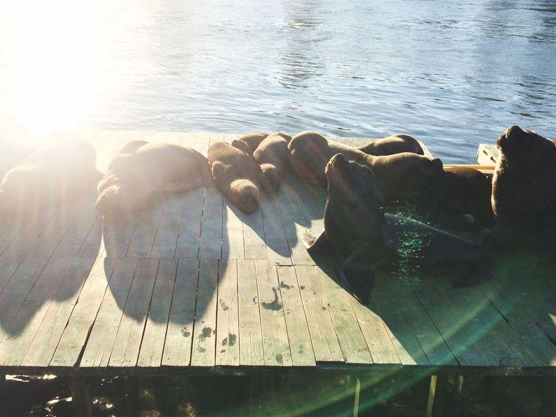 Sunbaking Sea Lions