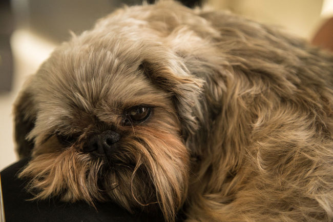 Animal Photography Brown Eyes Close-up Dog Domestic Animals Fluffy Focus On Foreground Indoors  Lap Dog Long Hair Dog Pets Sad Face Pet Portraits