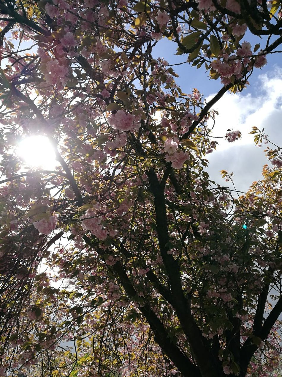 Tree Nature Beauty In Nature Outdoors No People Sky Sunlight Freshness Cherryblossom Pinktrees Colorfull Pink Springtime