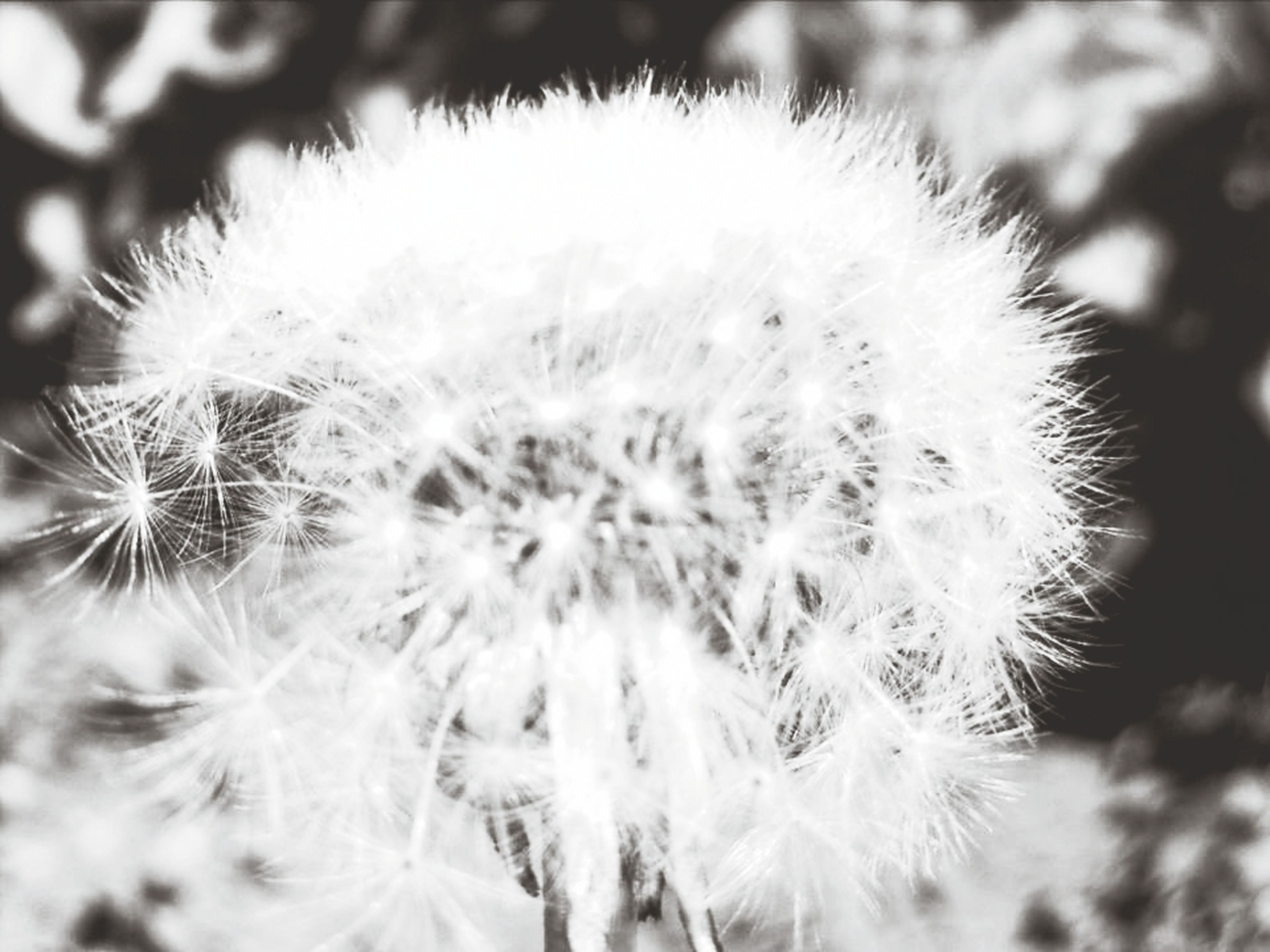 dandelion, flower, fragility, growth, close-up, focus on foreground, freshness, flower head, nature, beauty in nature, single flower, plant, softness, selective focus, uncultivated, wildflower, outdoors, dandelion seed, white color, day