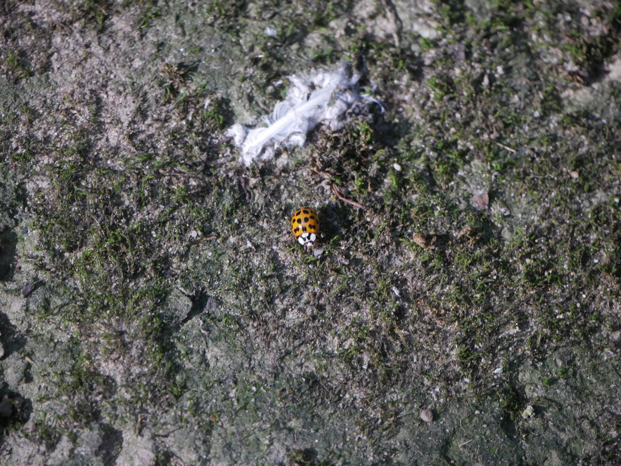 insect, animal themes, animals in the wild, one animal, high angle view, no people, outdoors, nature, day, animal wildlife, close-up, ladybug