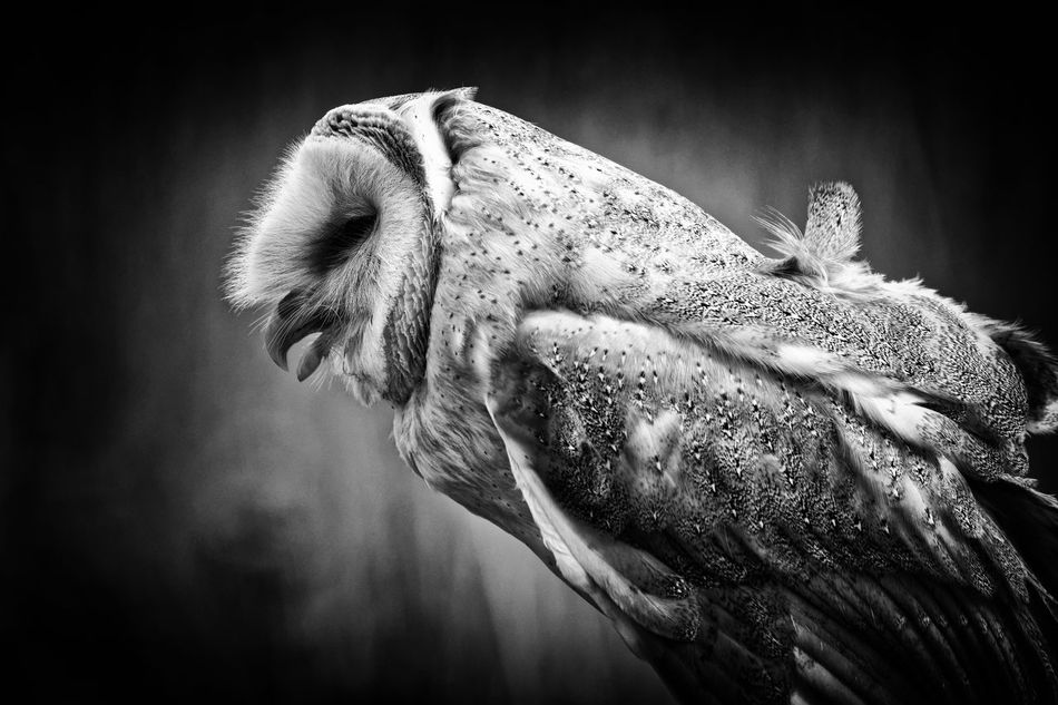 Owl Talk BW vesion Animal Animal Themes Beauty In Nature Bird Bkackandwhite Black & White Close-up Nature No People Owl