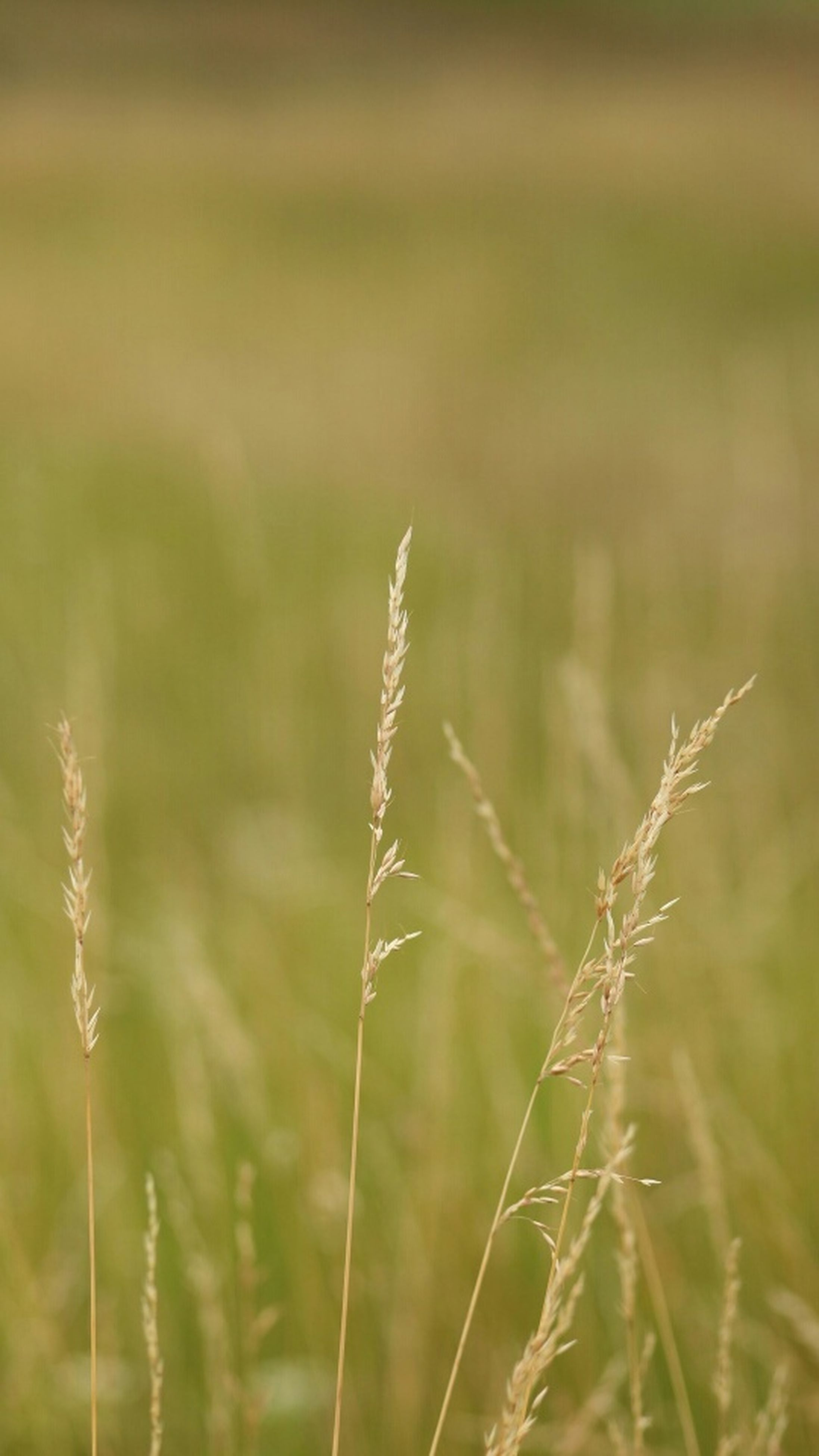 grass, focus on foreground, growth, field, plant, nature, close-up, tranquility, stem, selective focus, beauty in nature, growing, day, outdoors, no people, green color, landscape, tranquil scene, twig, blade of grass