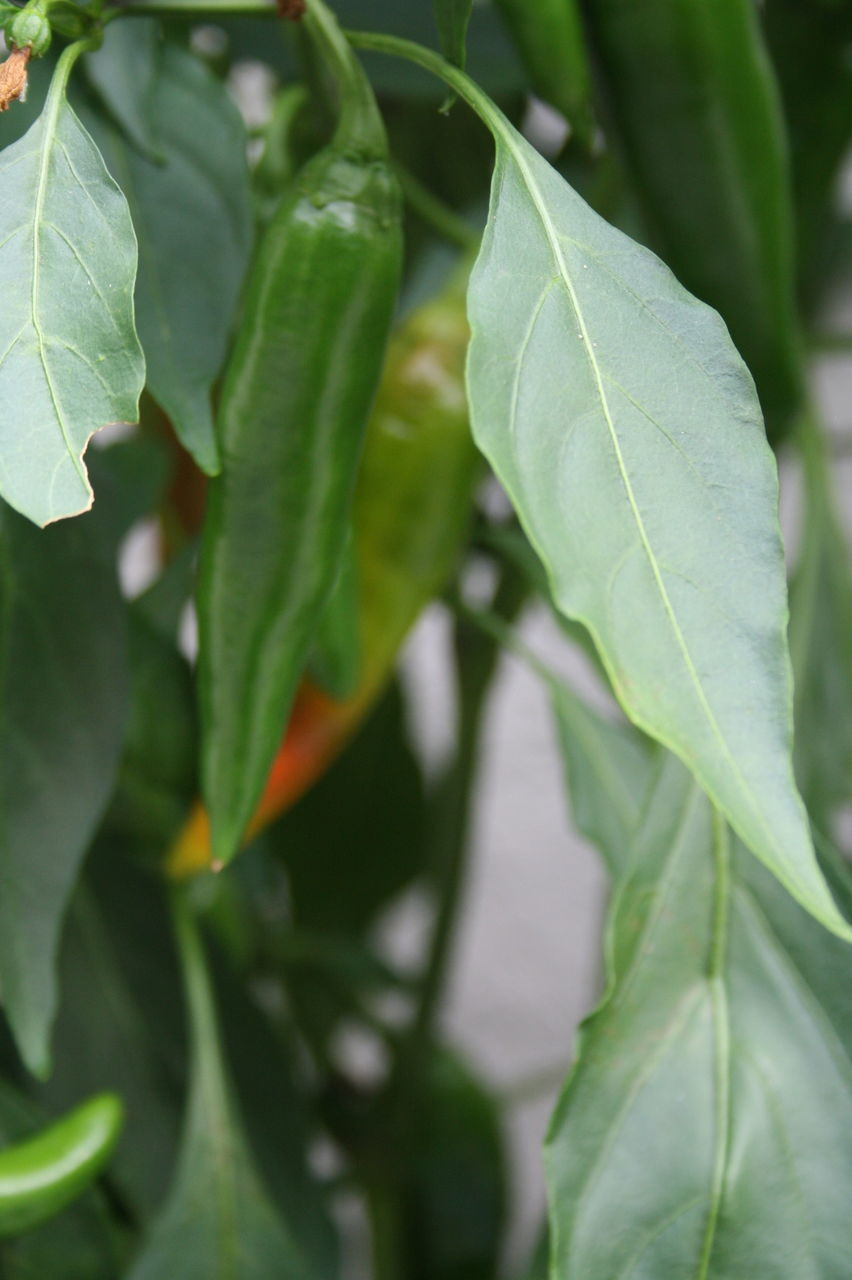 leaf, green color, growth, day, close-up, no people, nature, plant, outdoors, beauty in nature, freshness, fragility