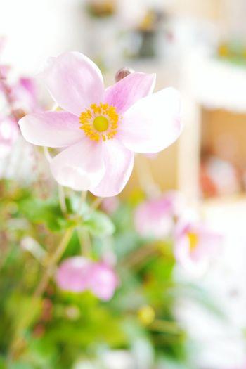 優しさに感謝♡ 花 秋明菊