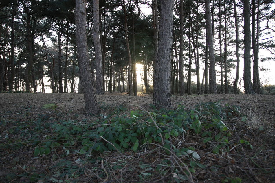 Beauty In Nature Chobham Common Day Forest Grass Growth Landscape Nature No People Outdoors Pinetrees Shafts Of Sunlight Sky Sun Through Trees Surrey Countryside Tranquility Tree Tree Trunk Walking