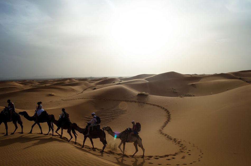 Beautiful stock photos of desert, Animal, Animal Themes, Arid Climate, Camel