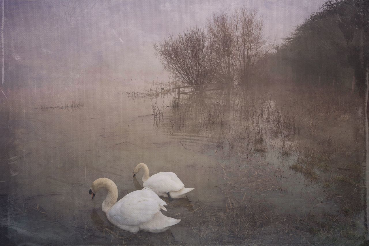 Swans Lake Landscapes With WhiteWall Irthlingborough Northamptonshire Misty Foggy Morning Foggy Landscape Swans Mextures Lake View Trees And Water Trees And Fog Misty Morning Water And Fog Nature Photography Landscape_photography Grey Day.. Waterscape The Great Outdoors With Adobe The Great Outdoors - 2016 EyeEm Awards Two Is Better Than One