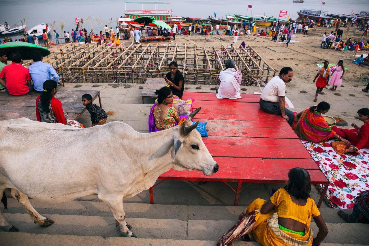 Travel in Varanasi, India Ancient Bovine Cow Domestic Animals Exotic Foreign Ganges Ganges River Hindu Hinduism Holy India Indian Indian Culture  Mammal Pray Prayer Religious  Spiritual Spirituality Stray Travel Travel Destinations Varanasi Worship