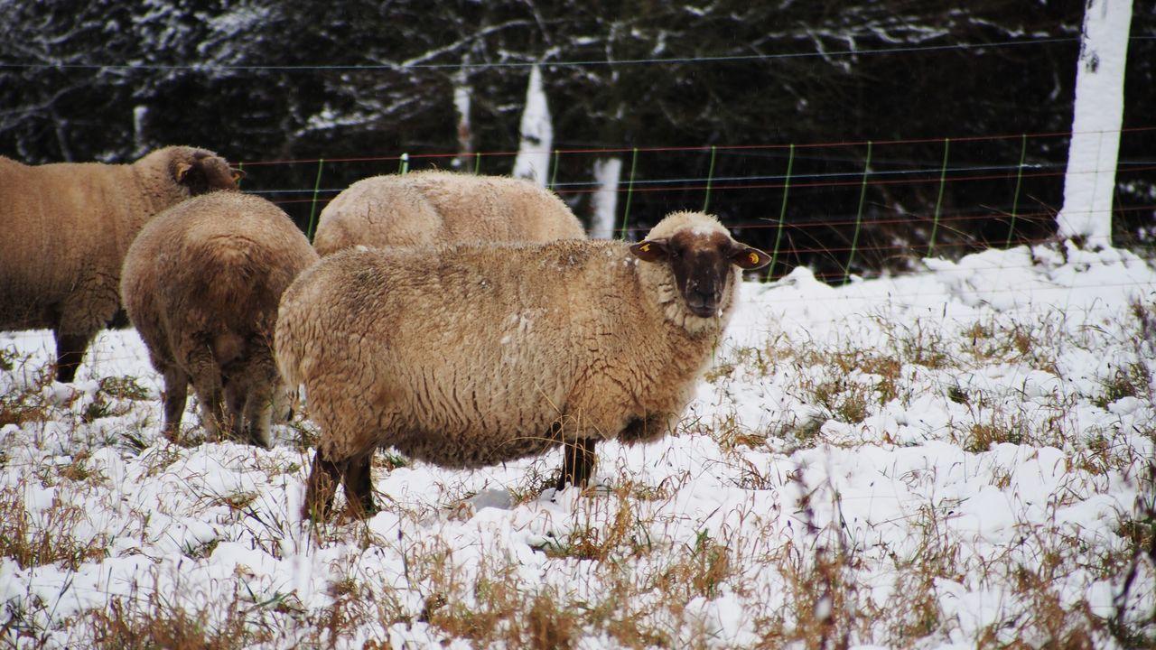 Animal Animal Themes Cold Temperature Domestic Animals No People Schafe Schaffhausen Schnee Sheep White Wolle  Zaun Zoology Marburg An Der Lahn