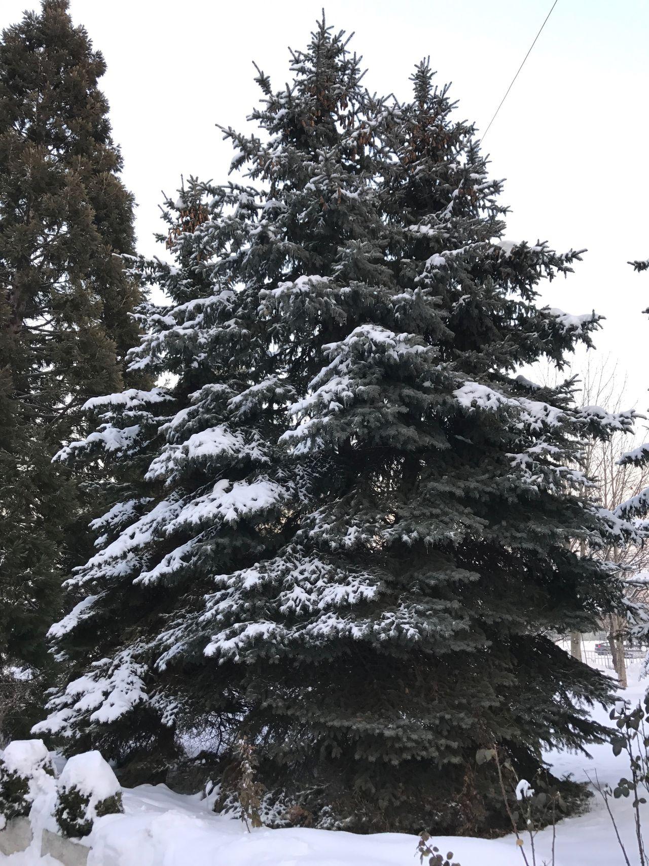 Snow Trees Snow Trees Winter Sofia, Bulgaria