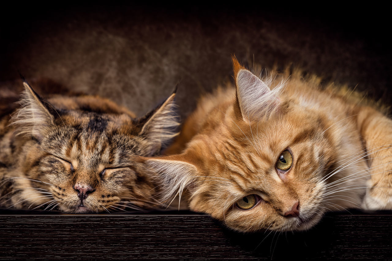 Mother and Daughter female Maine Coon Cats Animal Themes Close-up Day Domestic Animals Domestic Cat Feline Ginger Cat Indoors  Looking At Camera Mammal No People One Animal Pets Portrait Whisker