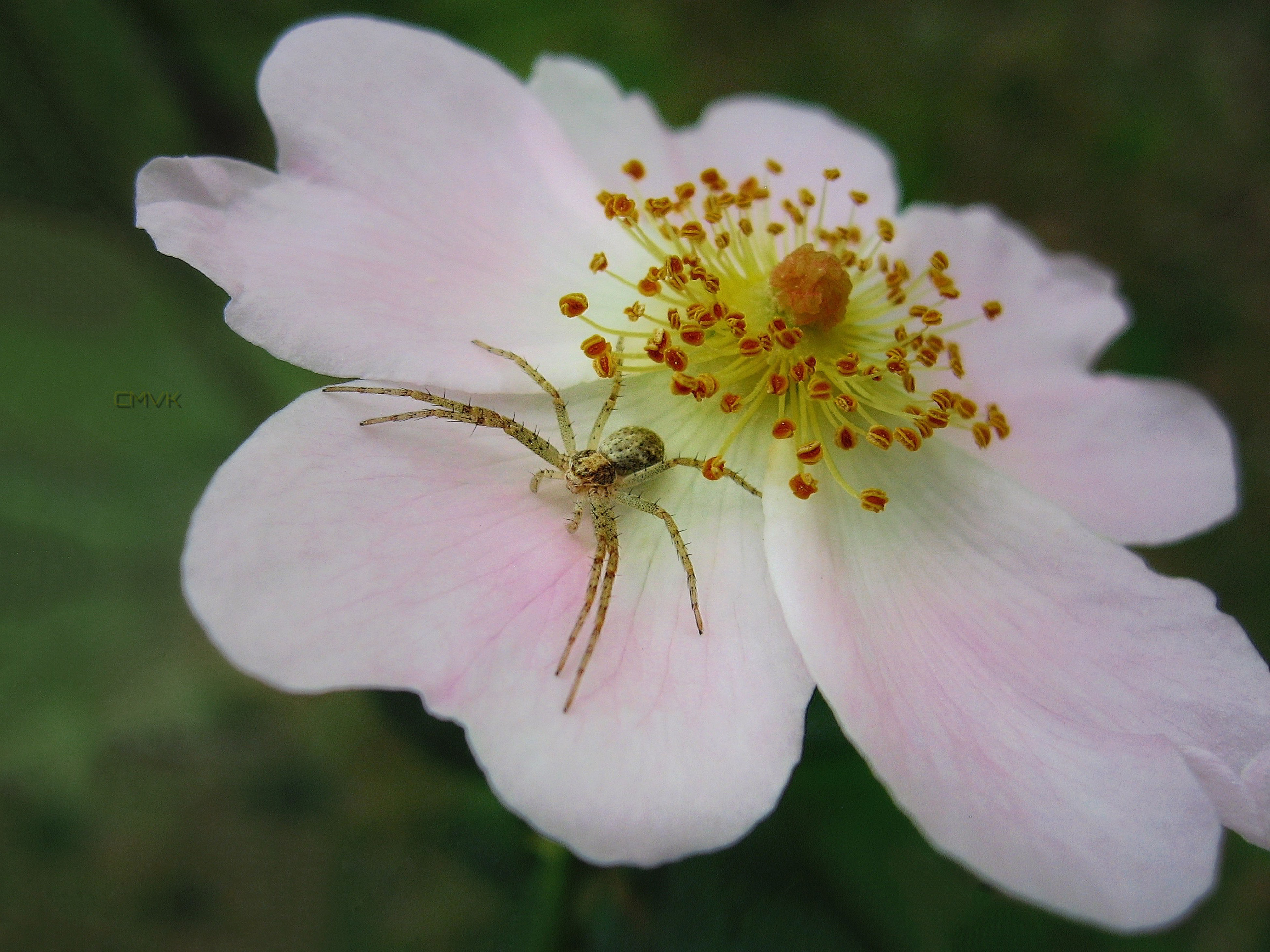 flower, petal, freshness, fragility, flower head, close-up, growth, beauty in nature, single flower, nature, pollen, stamen, focus on foreground, blooming, pink color, white color, in bloom, blossom, selective focus, plant
