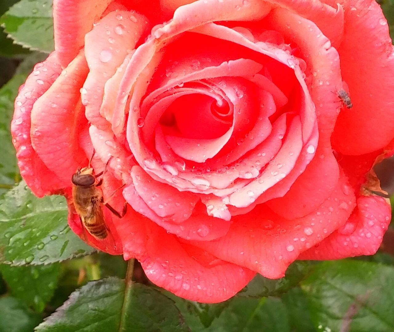 beauty in nature, drop, nature, flower, growth, water, wet, rose - flower, petal, freshness, plant, fragility, no people, close-up, outdoors, red, flower head, raindrop, day, blooming