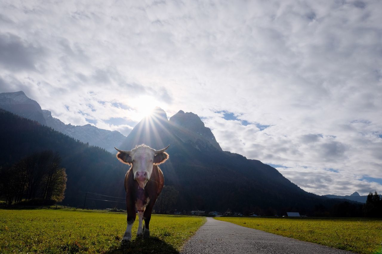 Day Outdoors No People Mountain Landscape Grass Beauty In Nature Mountain Range Nature Tranquil Scene Scenics Sun One Animal Cattle Agriculture Mammal Animal Themes Domestic Animals Cow