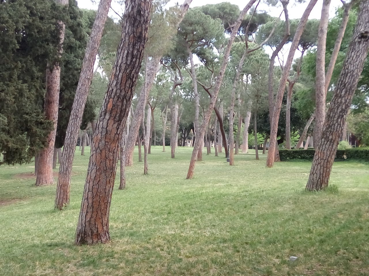 Tree Growth Nature Beauty In Nature Tree Trunk Grass Outdoors Tranquil Scene Landscape No People Villa Borghese Park Rome Italy🇮🇹