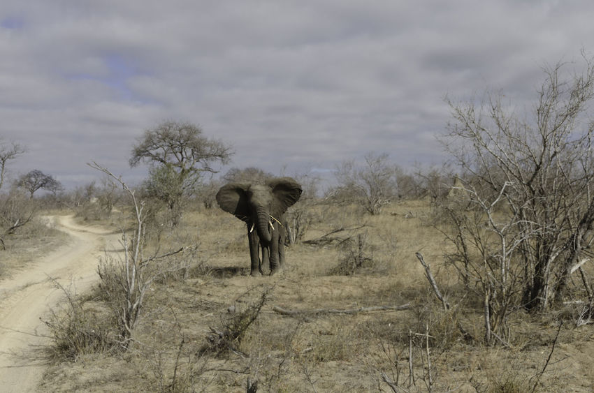 Young Elephant Animal Themes Animals In The Wild Arid Climate Beauty In Nature Day Elephant Flapping Ears Landscape Mammal Nature No People One Animal Outdoors Safari Animals, African Animals, Herbivore, Safari, Adventure Sky Tourism, Travel, Holiday, Vacation, Game Viewing,