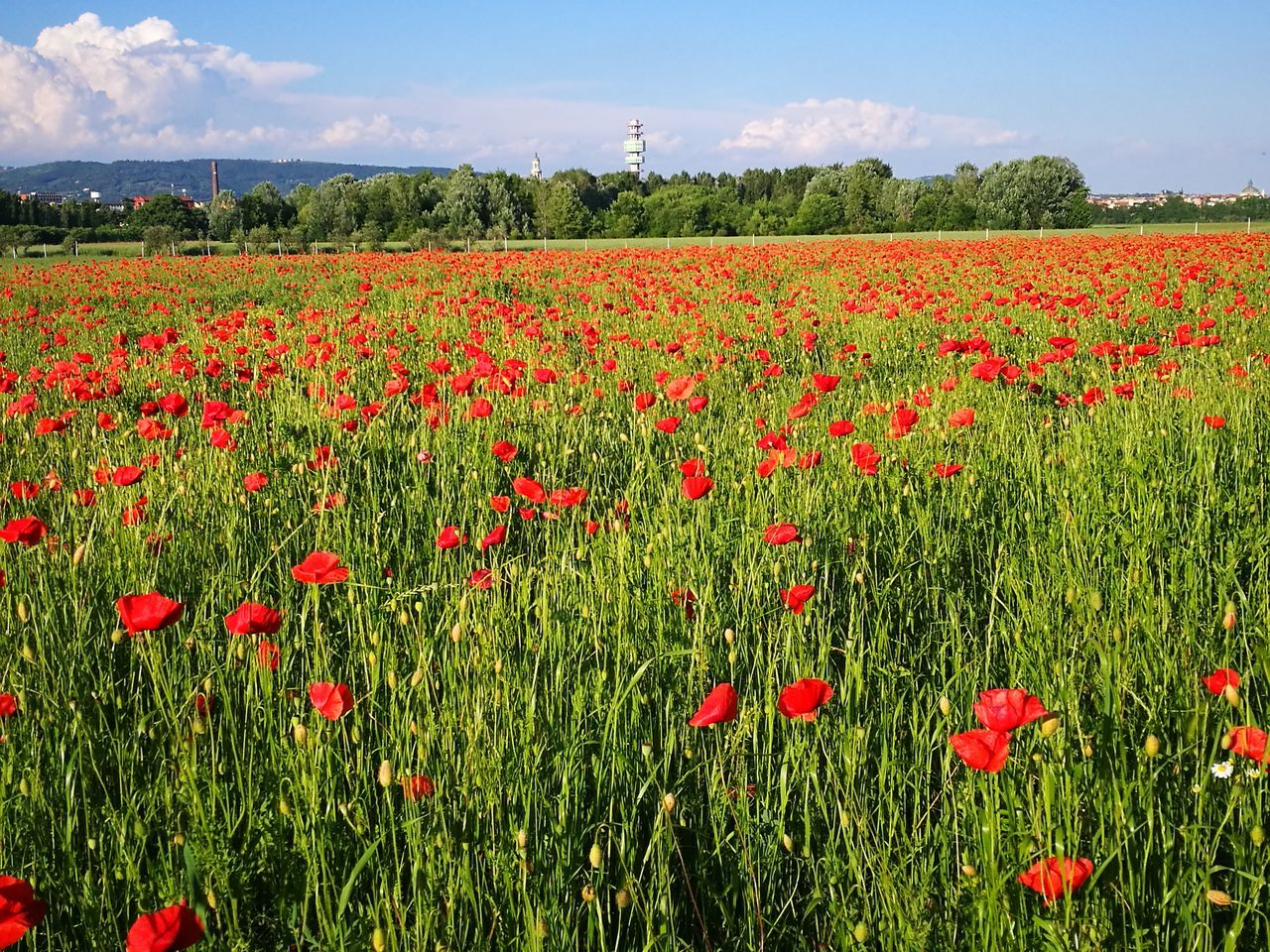 flower, growth, beauty in nature, nature, field, poppy, plant, red, freshness, day, fragility, rural scene, tranquility, agriculture, no people, outdoors, tranquil scene, sky, scenics, landscape, flowerbed, petal, blooming, flower head, abundance, summer, green color, cloud - sky, springtime, close-up