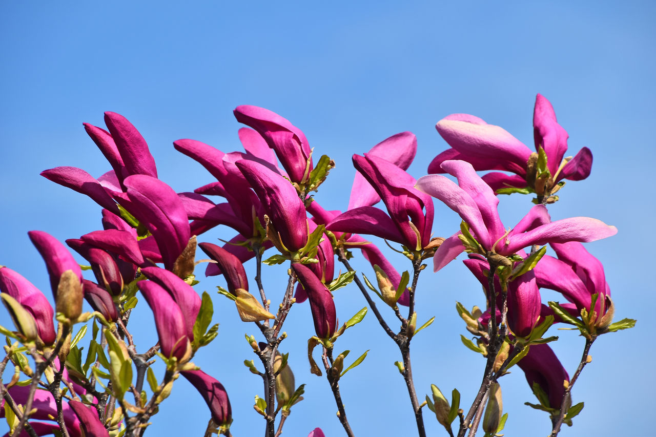 LOW ANGLE VIEW OF PINK FLOWERS BLOOMING AGAINST CLEAR SKY