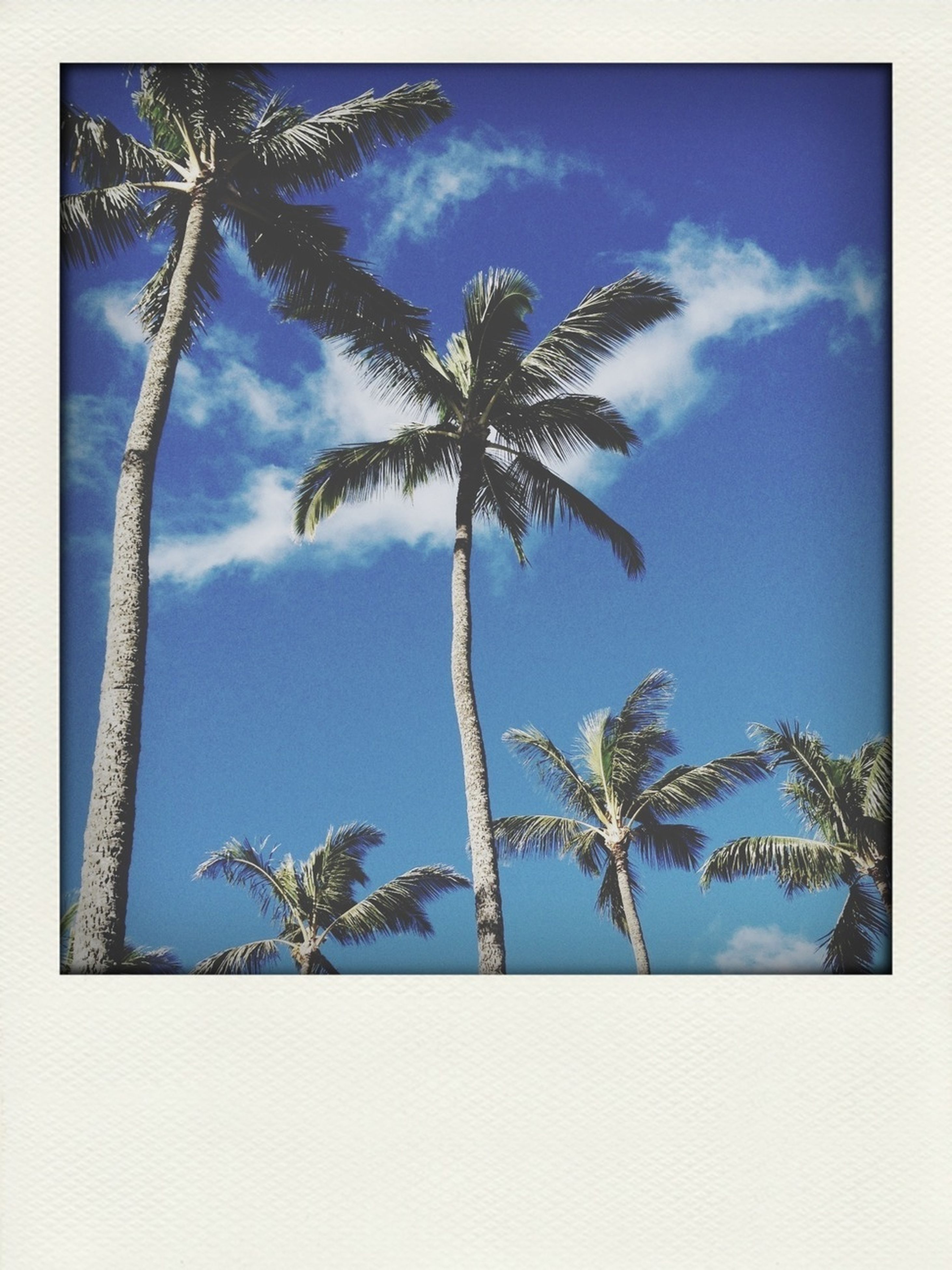 transfer print, tree, low angle view, sky, auto post production filter, palm tree, blue, growth, tree trunk, nature, tranquility, beauty in nature, cloud - sky, cloud, branch, tall - high, day, no people, scenics, outdoors