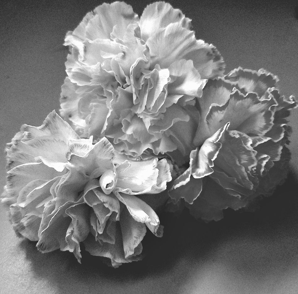 Three Carnations B&w Photography Beauty In Nature Black And White Close-up Day Flower Flower Head Fragility Freshness Indoors  MUR B&W Nature No People Petal