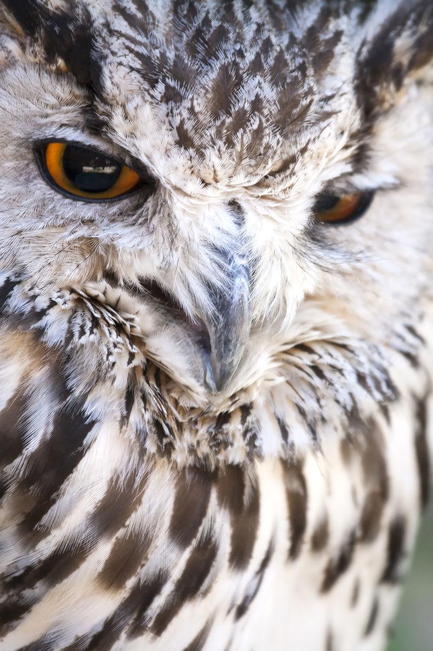 animal themes, bird, animals in the wild, one animal, bird of prey, animal wildlife, close-up, beak, animal head, owl, no people, looking at camera, day, portrait, outdoors, nature