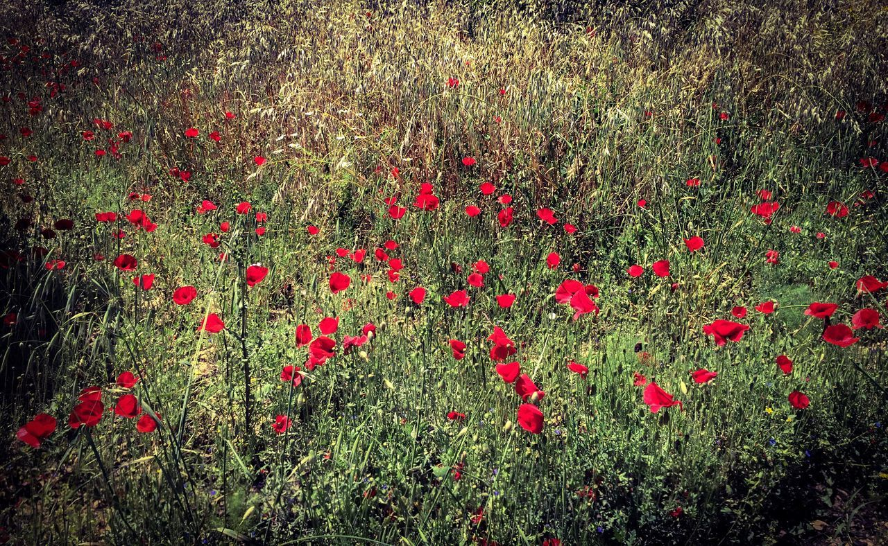 Poppy fields! Flower Red Full Frame Nature Growth Freshness Petal No People Beauty In Nature Backgrounds Outdoors Poppy Flowers Poppies  Poppy Fields Poppy Flower Poppies Field Fragility Day Close-up Poppy Flower Head