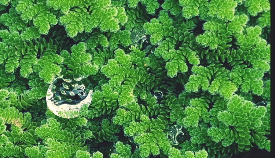 water drop on green water fern . Azolla pinnata. after raining. Water Velet Green Color Leaf Nature No People Outdoors Day Backgrounds Beauty In Nature Close-up Growth Green Grass Green Color Plant Forest Life Aquatic Plants