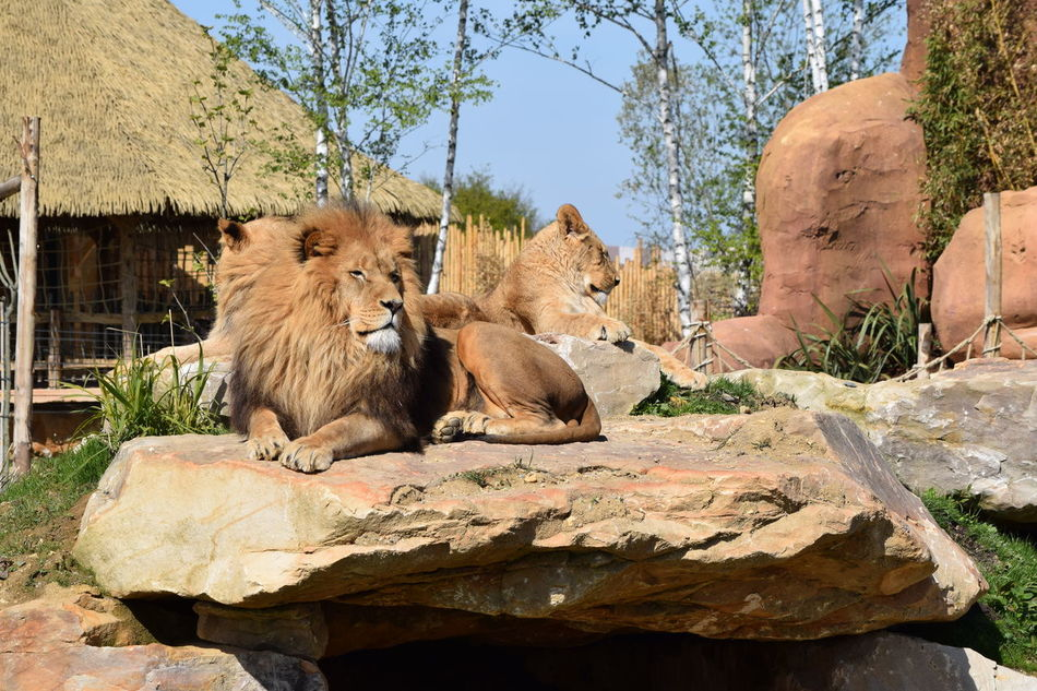 lion Animal Themes Animal Wildlife Animals In The Wild Day Feline King Lion Lion - Feline Lioness Mammal Nature No People Outdoors Powerful Relaxation Rock Rock - Object Strong Tree Wildlife