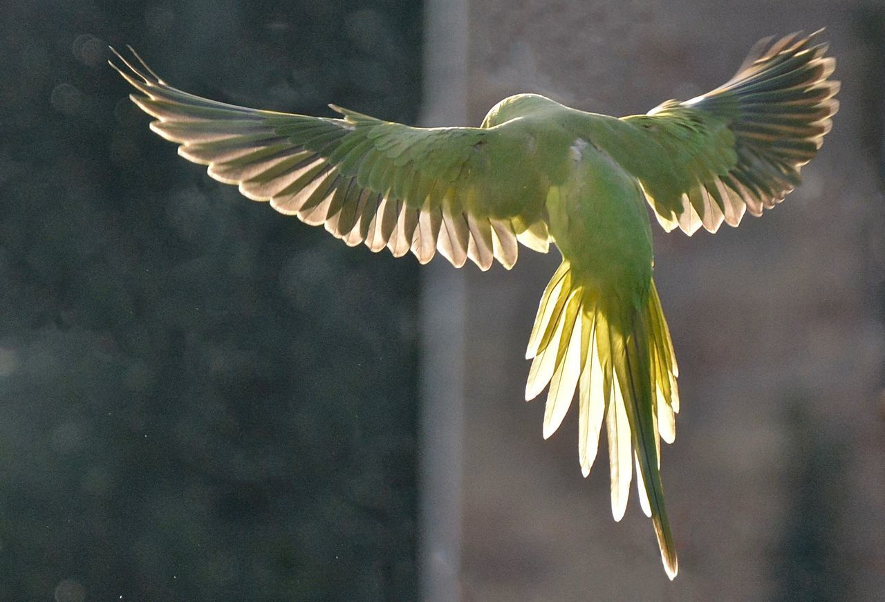 Like an angel Birds In Flight Parakeet Flying High light and reflection Green Green Green!  Exotic Creatures Urban Nature Bird Photography Birds_collection