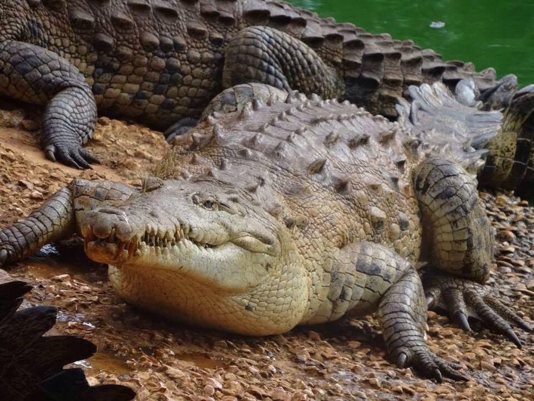 Crocodile Alligator Wild Animal Water Teeth Scaley Green