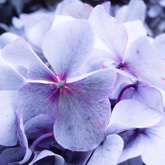 Hydrangea Purple Purple Flower Black&white+purple EyeEm Nature Lover
