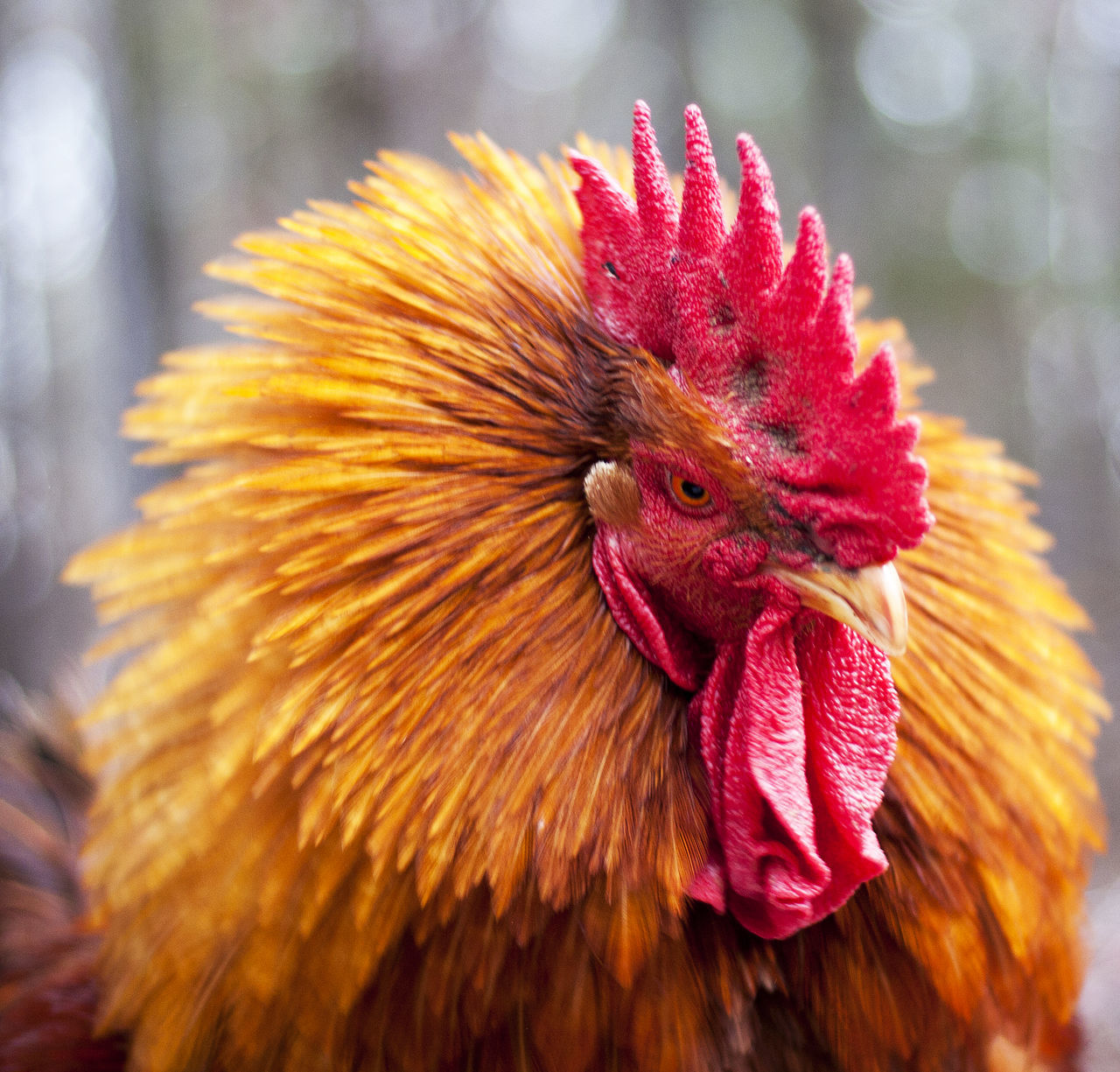 one animal, domestic animals, flower, rooster, livestock, chicken - bird, animal themes, close-up, nature, outdoors, day, bird, no people