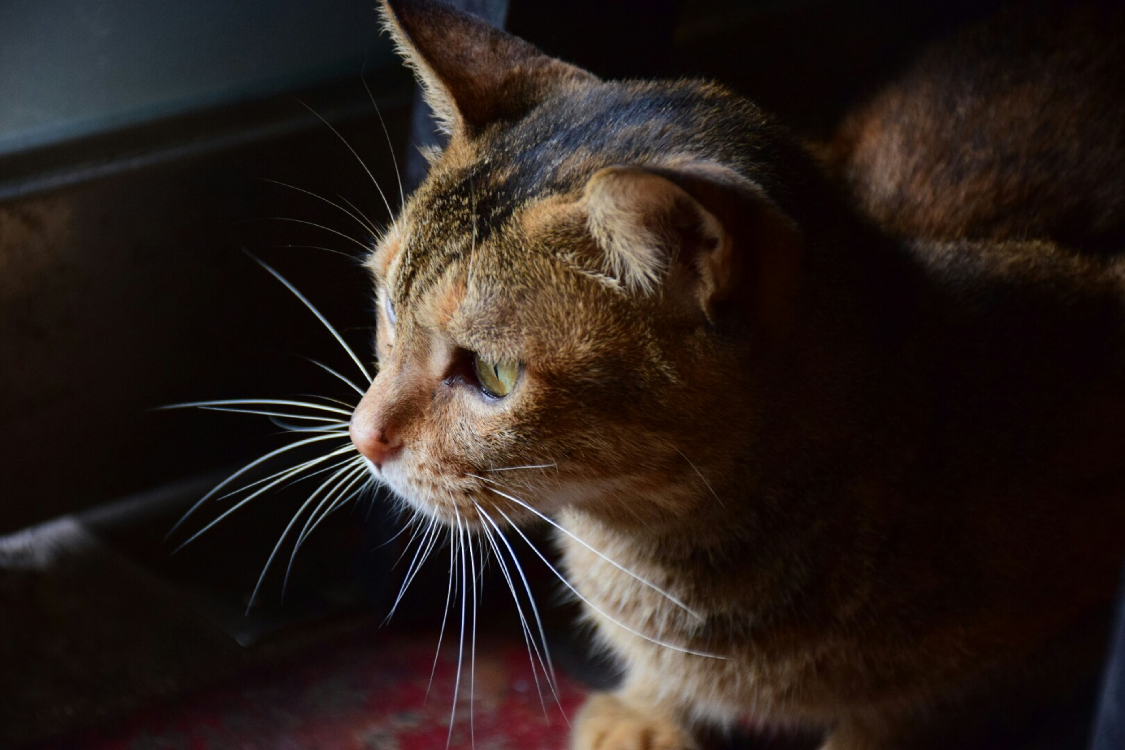 one animal, animal themes, pets, domestic animals, mammal, indoors, domestic cat, cat, whisker, feline, animal head, close-up, animal body part, looking away, relaxation, zoology, animal, no people, selective focus, animal eye