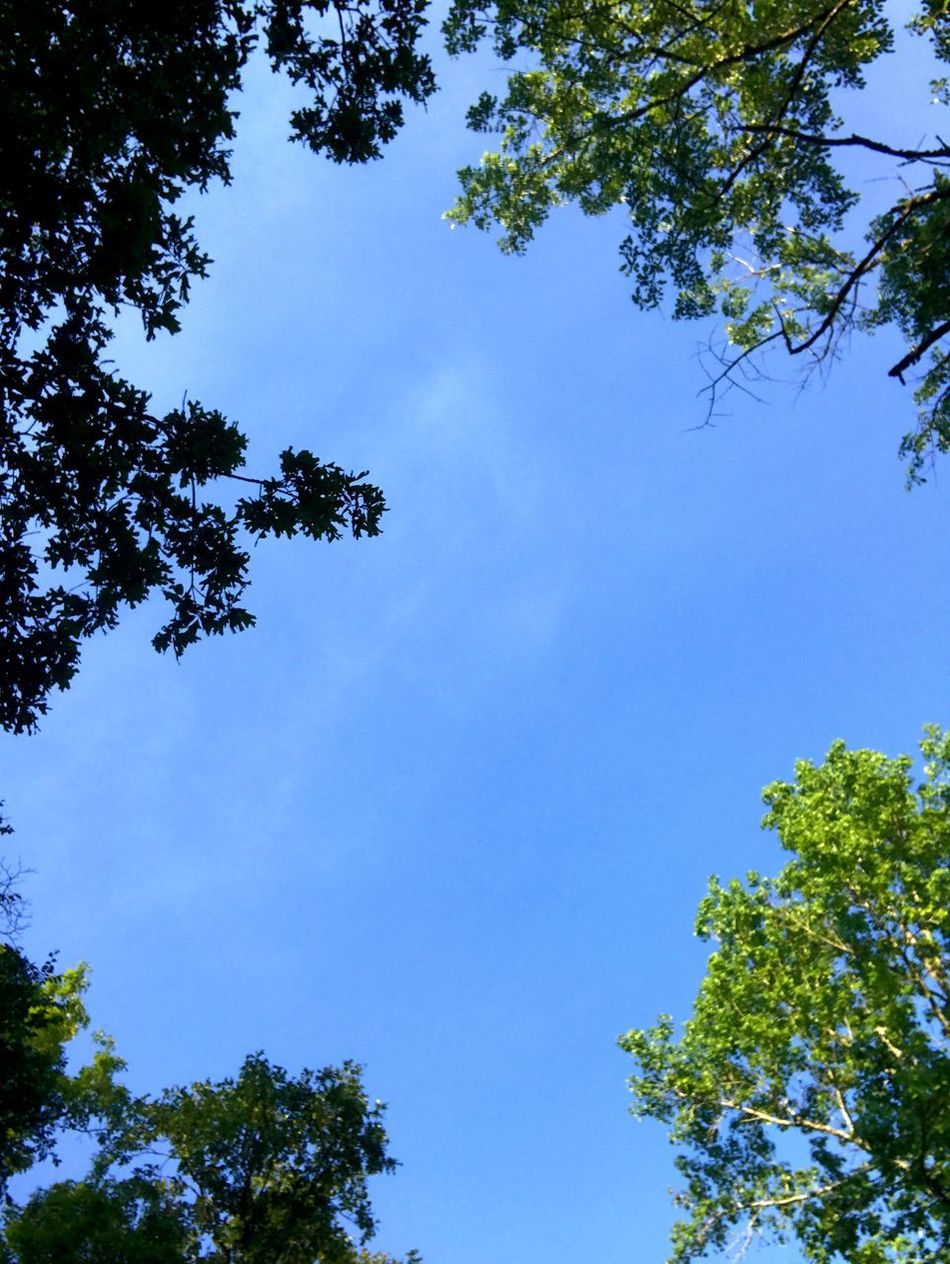 Tree Low Angle View Growth Nature Sky Beauty In Nature Branch No People Day Blue Outdoors Forest Clear Sky Hope IPhoneography