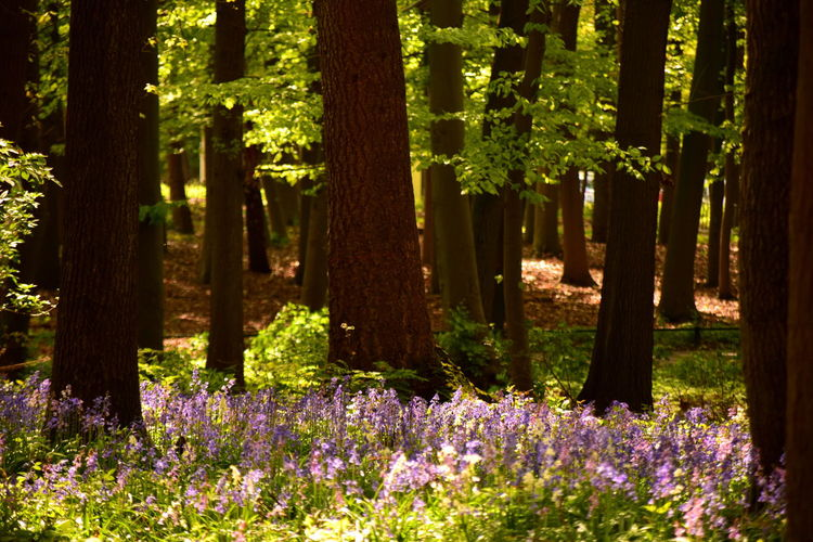 Magic forest Beauty In Nature Blooming Day Flower Forest Fragility Growth Landscape Nature No People Outdoors Plant Purple Summer Tree The Great Outdoors - 2017 EyeEm Awards Bluebells Wilde Hyacint