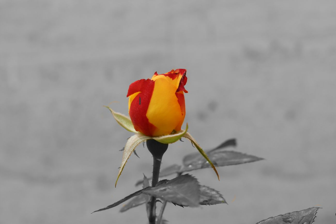 PhoTo: TiTo Flower Iran Bonab Canon Canon700D Taslimi Iran♥ EyeEm Best Shots کانن700دی کانن Best  بناب گل Lenz 18-55 Blak&white