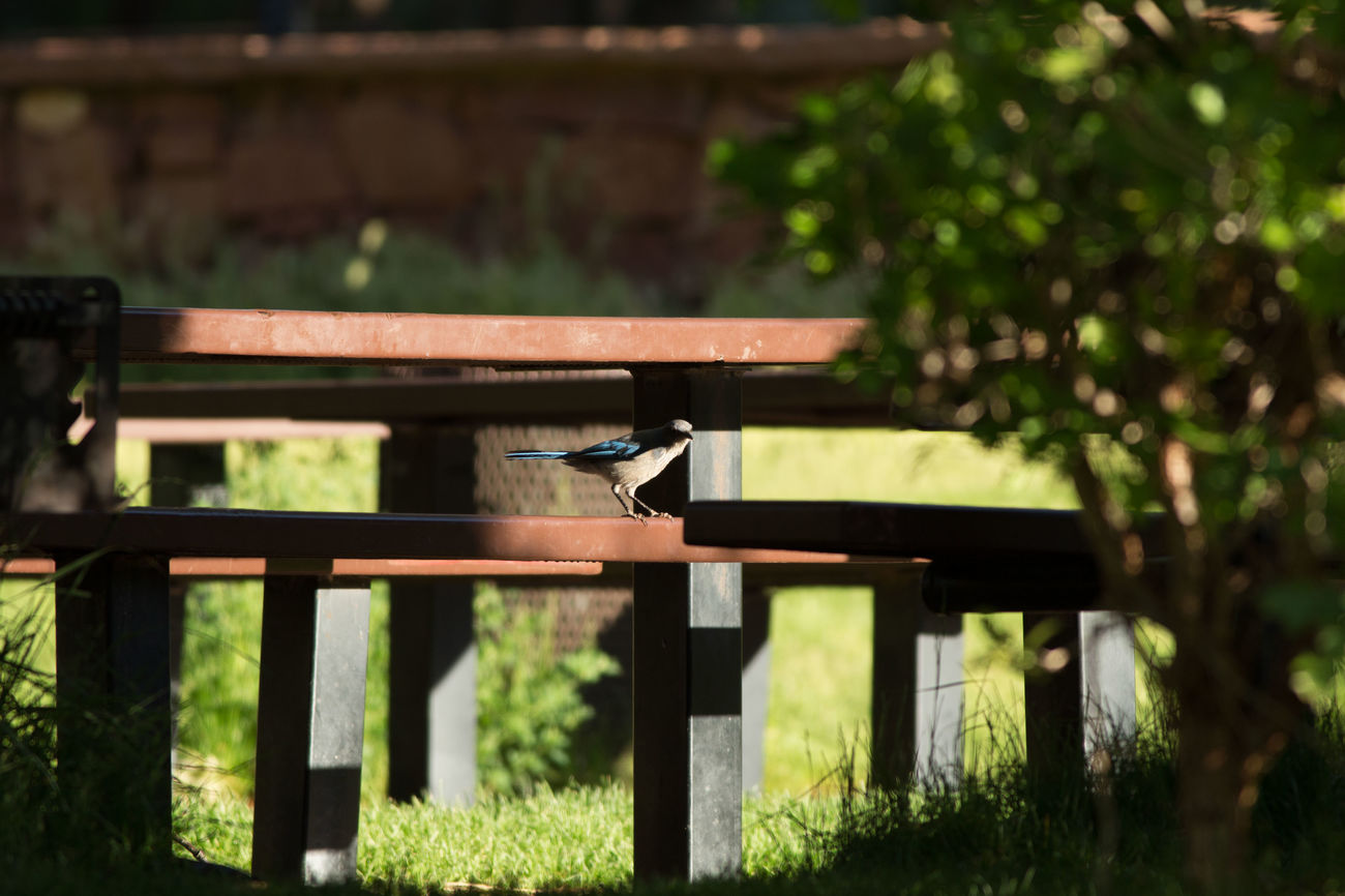 Scrub jay scavenging Park Picnic Area Jay Scrub Jay Western Scrub Jay Blue Jay Nature Outdoors Grass Day Animal Wildlife Animals In The Wild Animal Themes
