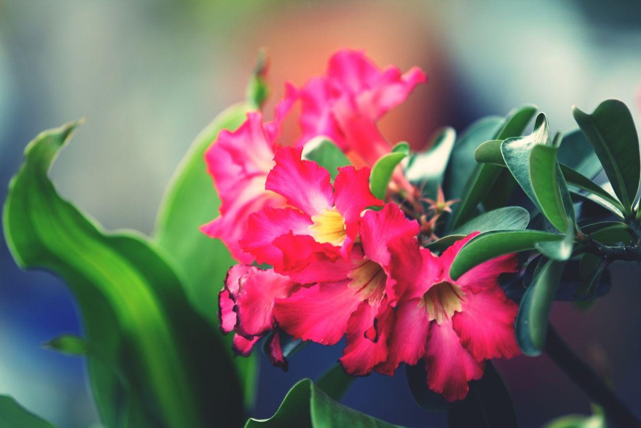 Flowers Desert Rose Desertrose