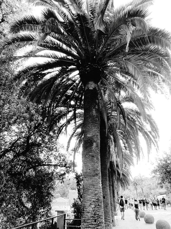 Blackandwhite Blackandwhitephotography Palmtrees Parkphotography Todayphotography Naturephotography Parkguell SPAIN Barcelona Fine Art Photography Taking Photos Eyeemcollection Eyeemphotography Beauty In Nature Calming Huge Amazingview Eyeemphoto