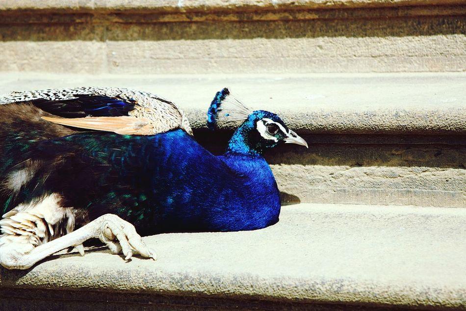 Peacock Czech Nature Birds🐦⛅ Bird City Animal Summer ☀ Summer Nature