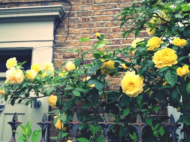 Very beautiful sunny colour roses gracing a doorway near home! Flowers Roses London Natural Beauty