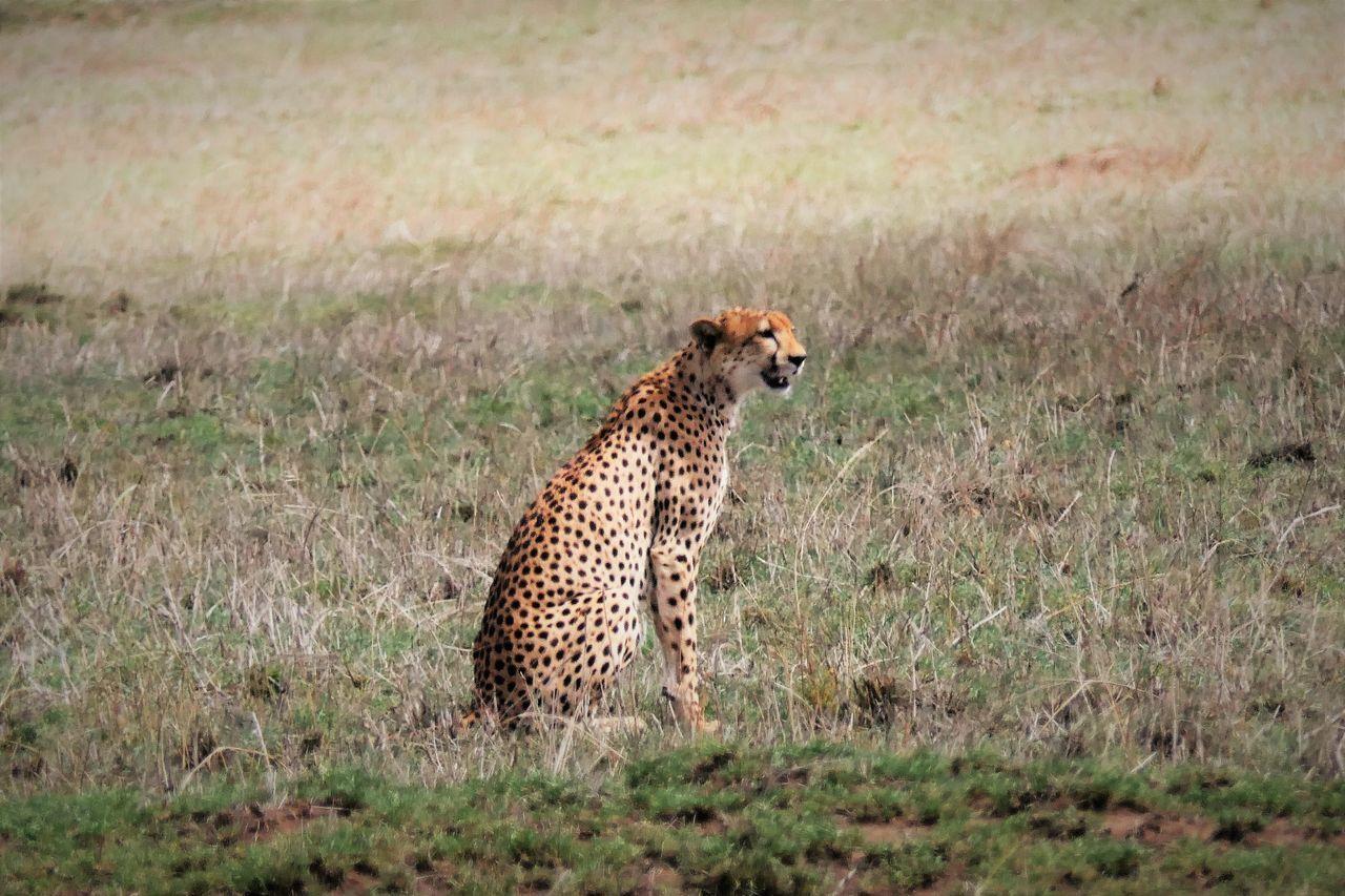 Serengeti Animal Markings Animal Themes Animal Wildlife Animals In The Wild Carnivora Cheetah Day Field Gepard Grass Mammal Nature One Animal Outdoors Serengeti National Park