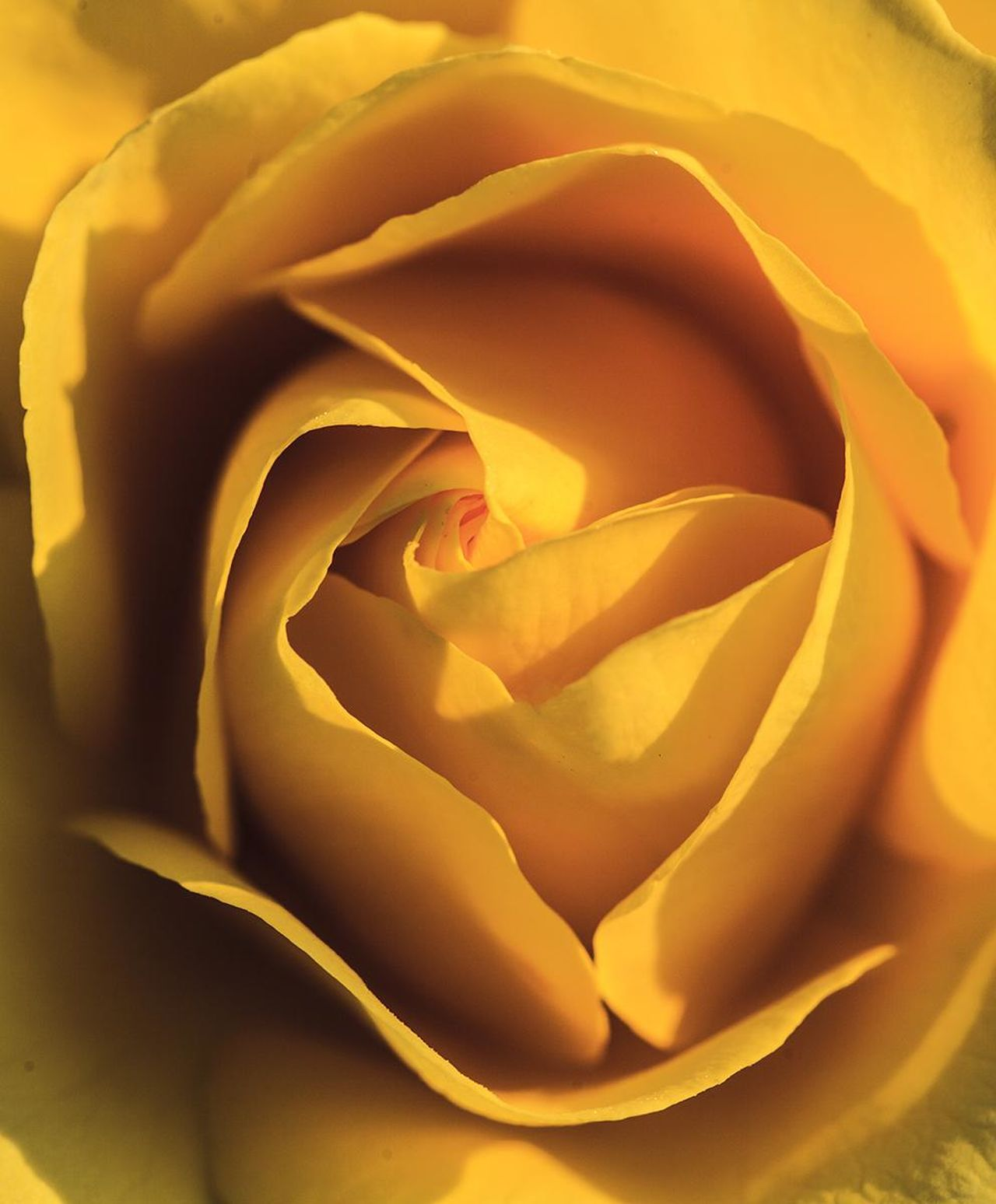 Rose🌹 Yellow Rose Yellow Color Macro Close-up Big Close Up Natural Beauty Nature Nature Photography