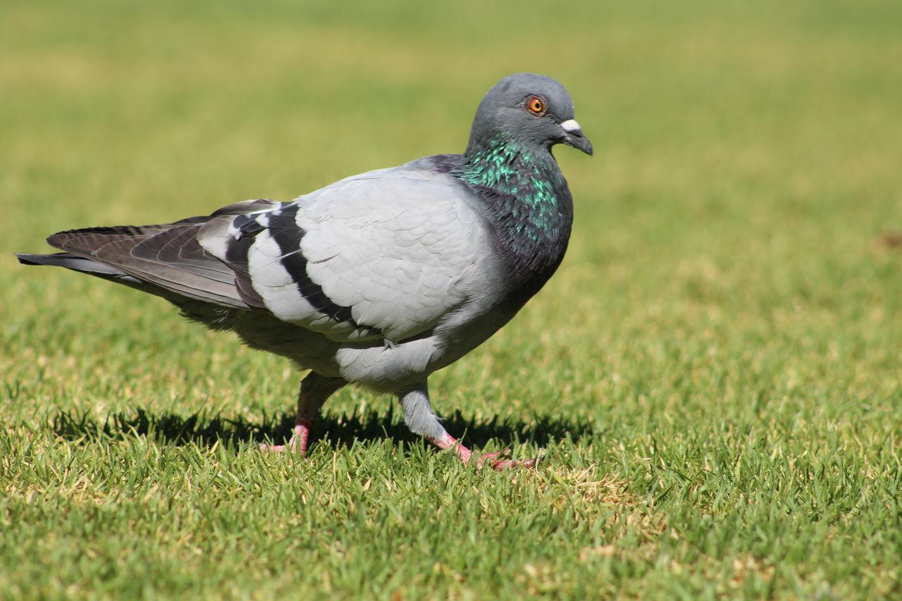 Beautiful stock photos of friedenstaube, bird, animal themes, animals in the wild, one animal